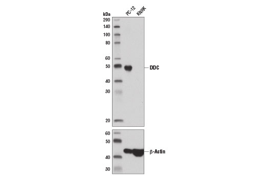 Western blot analysis of extracts from PC-12 and KNRK cells using DDC (D6N8N) Rabbit mAb (upper) and β-Actin (D6A8) Rabbit mAb #8457 (lower).