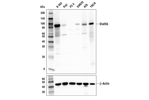 Western blot analysis of extracts from various cell lines using Stat5b Antibody (upper) or β-Actin (D6A8) Rabbit mAb #8457 (lower).