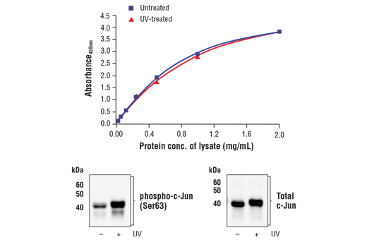 Figure 1. Treatment of 293 cells with UV irradiation stimulates phosphorylation of c-Jun at Ser63 but does not affect the level of total c-Jun. The relationship between lysate protein concentration from untreated and UV-treated 293 cells and the absorbance at 450 nm using the FastScan™ Total c-Jun ELISA Kit #23176 is shown in the upper figure. The corresponding western blots using phospho-c-Jun (Ser63) antibody (left panel) and c-Jun antibody (right panel) are shown in the lower figure. 293 cells were treated with UV (50 mJ/cm<sup>2</sup> with 60 min recovery at 37ºC) and then lysed.