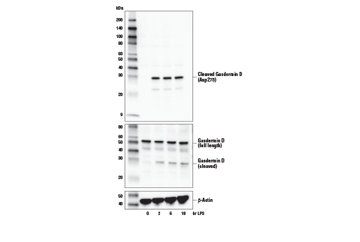 Western blot analysis of extracts from THP-1 cells, differentiated with TPA #4174 (50 ng/ml, overnight) and then treated with LPS #14011 (5 μg/ml, indicated times), using Cleaved Gasdermin D (Asp275) (E7H9G) Rabbit mAb (upper), total Gasdermin D (L60) Antibody #93709 (middle), or β-Actin (D6A8) Rabbit mAb #8457 (lower).