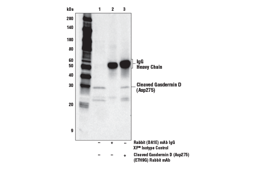 Immunoprecipitation of Cleaved Gasdermin D (Asp725) from THP-1 cells differentiated with TPA #4174 (50 ng/ml, overnight) and then treated with LPS #14011 (5 μg/ml, 6 hr). Lane 1 is 10% input, lane 2 is Rabbit (DA1E) mAb IgG XP<sup>®</sup> Isotype Control #3900, and lane 3 is Cleaved Gasdermin D (Asp275) (E7H9G) Rabbit mAb. Western blot was performed using Cleaved Gasdermin D (Asp275) (E7H9G) Rabbit mAb. Anti-rabbit IgG, HRP-linked Antibody #7074 was used as a secondary antibody.