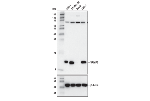 Western blot analysis of extracts from various cell lines using VAMP3 (D9S6K) XP<sup>®</sup> Rabbit mAb (upper) and β-Actin (D6A8) Rabbit mAb #8457 (lower). VAMP3 expression is undetectable in Daudi extracts, as predicted from published gene expression databases.