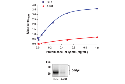 Figure 1. c-Myc protein is expressed in HeLa and A-431 cells, but at a much lower level in A-431 cells. The relationship between lysate protein concentration from HeLa and A-431 cells and the absorbance at 450 nm using the FastScan™ Total c-Myc ELISA Kit #27171 is shown in the upper figure. The corresponding western blot using a c-Myc antibody is shown in the lower figure. Unstarved HeLa or A-431 (90% confluence) cells were harvested and then lysed.