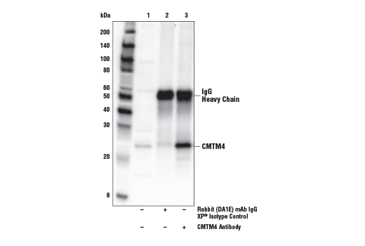Immunoprecipitation of CMTM4 protein from SCLC-21H cell extracts. Lane 1 is 10% input, lane 2 is Rabbit (DA1E) mAb IgG XP<sup>® </sup>Isotype Control #3900, and lane 3 is CMTM4 Antibody. Western blot analysis was performed using CMTM4 Antibody.