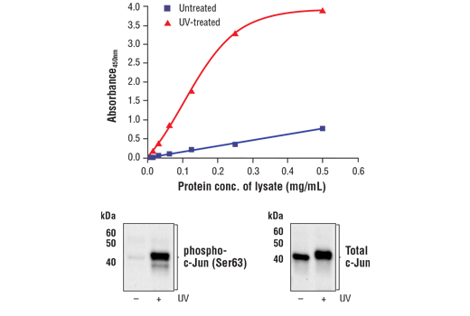 Figure 1. Treatment of 3T3 cells with UV irradiation stimulates phosphorylation of c-Jun at Ser63 but does not affect the level of total c-Jun. The relationship between lysate protein concentration from untreated and UV-treated 3T3 cells and the absorbance at 450 nm using the FastScan™ Phospho-c-Jun (Ser63) ELISA Kit #32614 is shown in the upper figure. The corresponding western blots using phospho-c-Jun (Ser63) antibody (left panel) and c-Jun antibody (right panel) are shown in the lower figure. 3T3 cells were treated with UV (50 mJ/cm<sup>2</sup> with 60 min recovery at 37°C) and then lysed.
