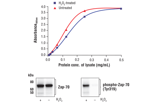 Figure 1. Treatment of Jurkat cells with H<sub>2</sub>O<sub>2</sub> stimulates phosphorylation of Zap-70 at Tyr319 but does not affect the level of total Zap-70. The relationship between lysate protein concentration from untreated and H<sub>2</sub>O<sub>2</sub>-treated Jurkat cells and the absorbance at 450 nm using the FastScan™ Total Zap-70 ELISA Kit #23925 is shown in the upper figure. The corresponding western blots using Zap-70 antibody (left panel) and phospho-Zap-70 (Tyr319) antibody (right panel) are shown in the lower figure. After serum starvation, Jurkat cells were treated with 11 mM H<sub>2</sub>O<sub>2</sub> for 3 minutes at 37°C and then lysed.