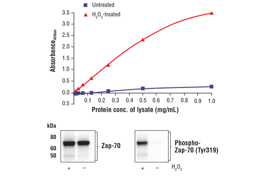 Figure 1. Treatment of Jurkat cells with H<sub>2</sub>O<sub>2</sub> stimulates phosphorylation of Zap-70 at Tyr319 but does not affect the level of total Zap-70. The relationship between lysate protein concentration from untreated and H<sub>2</sub>O<sub>2</sub>-treated Jurkat cells and the absorbance at 450 nm using the FastScan™ Phospho-Zap-70 (Tyr319) ELISA Kit (Human Preferred) #34440 is shown in the upper figure. The corresponding western blots using Zap-70 antibody (left panel) and phospho-Zap-70 (Tyr319) antibody (right panel) are shown in the lower figure. After serum starvation, Jurkat cells were treated with 11 mM H<sub>2</sub>O<sub>2</sub> for 3 minutes at 37°C and then lysed.