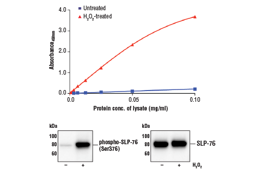 Figure 1. Treatment of Jurkat cells with H<sub>2</sub>O<sub>2</sub> stimulates phosphorylation of SLP-76 at Ser376, but does not affect the level of total SLP-76 protein. The relationship between lysate protein concentration from untreated and H<sub>2</sub>O<sub>2</sub>-treated Jurkat cells and the absorbance at 450 nm using the FastScan™ Phospho-SLP-76 (Ser376) ELISA Kit #30794 is shown in the upper figure. The corresponding western blots using phospho-SLP-76 (Ser376) antibody (left panel) and SLP-76 antibody (right panel) are shown in the lower figure. After serum starvation, Jurkat cells were either left untreated or treated with 11 mM H<sub>2</sub>O<sub>2</sub> for 3 minutes at 37°C and then lysed.