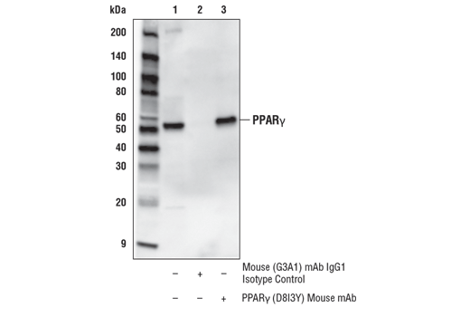 Immunoprecipitation of PPARγ from Capan-2 cell extracts. Lane 1 is 10% input, lane 2 is Mouse (G3A1) mAb IgG1 Isotype Control #5415, and lane 3 is PPARγ (D8I3Y) Mouse mAb. Western blot analysis was performed using PPARγ (C26H12) Rabbit mAb #2435.