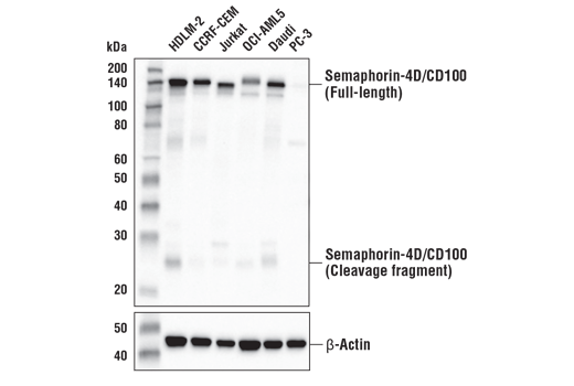 Western blot analysis of extracts from various cell lines using Semaphorin-4D/CD100 (E5C3B) XP<sup>®</sup> Rabbit mAb (upper) and β-Actin (D6A8) Rabbit mAb #8457 (lower). As expected, Semaphorin-4D/CD100 protein is not expressed in PC-3 cells.