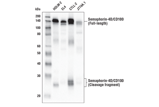 Western blot analysis of extracts from various cell lines using Semaphorin-4D/CD100 (E5C3B) XP<sup>®</sup> Rabbit mAb.