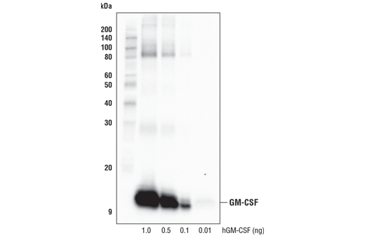 Monoclonal Antibody - GM-CSF (E8I1V) Rabbit mAb - Western Blotting, UniProt ID P04141, Entrez ID 1437 #56712 - Immunology and Inflammation