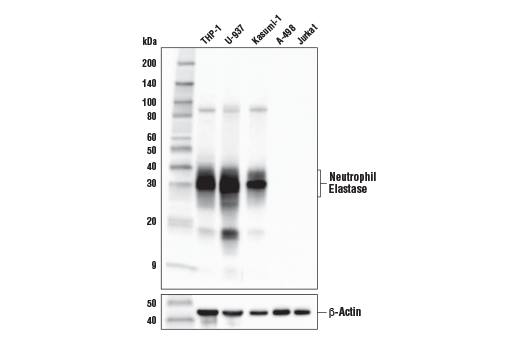 Western blot analysis of extracts from various cell lines using Neutrophil Elastase (E9C9L) XP<sup>®</sup> Rabbit mAb (upper) and β-Actin (D6A8) Rabbit mAb #8457 (lower). As expected, neutrophil elastase protein expression is not detected in either A-498 or Jurkat cells.