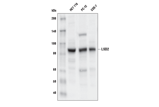 Western blot analysis of extracts from HCT 116, PC-12, and COS-7 cell lines using LSD2 (E1R6O) Rabbit mAb.