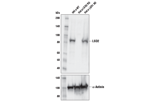 Western blot analysis of extracts from wild-type (WT), LSD2 knockout (LSD2 KO), and LSD1 knockout (LSD1 KO) HeLa cells using LSD2 (E1R6O) Rabbit mAb (upper) and α-Actinin (D6F6) XP<sup>®</sup> Rabbit mAb #6487 (lower). As expected, LSD2 is still expressed in LSD1 knockout HeLa cells.