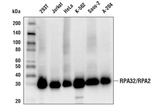 Western blot analysis of extracts from various cell lines using RPA32/RPA2 (E8X5P) XP<sup>®</sup> Rabbit mAb.