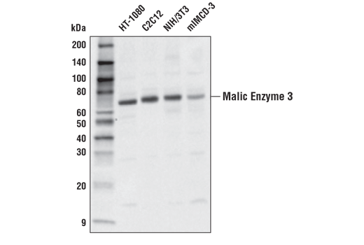 Western blot analysis of extracts from various cell lines using Malic Enzyme 3 Antibody.