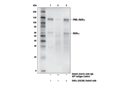 Immunoprecipitation of RARα and PML-RARα from NB-4 cell extracts. Lane 1 is 10% input, lane 2 is Rabbit (DA1E) mAb IgG XP<sup>®</sup> Isotype Control #3900, and lane 3 is RARα (E6Z6K) Rabbit mAb. Western blot analysis was performed with RARα (E6Z6K) Rabbit mAb. The NB-4 cell line contains the PML-RARα fusion. Mouse Anti-rabbit IgG (Conformation Specific) (L27A9) mAb (HRP Conjugate) #5127 was used as a secondary antibody.