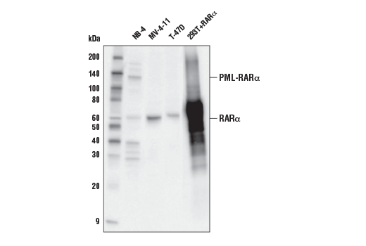 Western blot analysis of extracts from various cell lines using RARα (E6Z6K) Rabbit mAb. The NB-4 cell line contains the PML-RARα fusion protein.