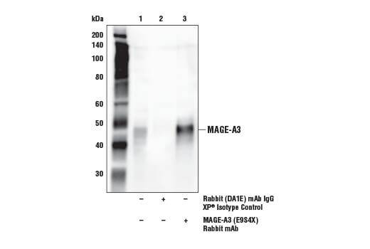 Immunoprecipitation Image 1: MAGE-A3 (E9S4X) Rabbit mAb