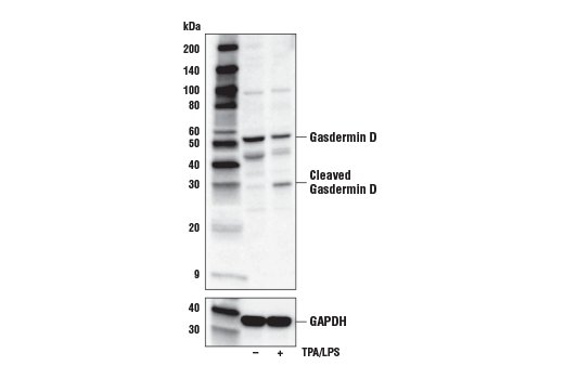 Western blot analysis of extracts from THP-1 cells, untreated (-) or treated (+) with TPA (12-O-Tetradecanolphorbol-13-Acetate) #4174 (50 ng/ml, 24 hr) followed by Lipopolysaccharides (LPS) #14011 (5 μg/ml, 6 hr), using Gasdermin D (L60) Antibody (upper) or GAPDH (D16H11) XP<sup>®</sup> Rabbit mAb #5174 (lower).