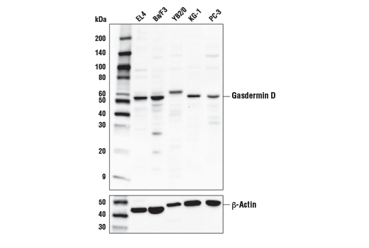 Western blot analysis of extracts from various cell lines using Gasdermin D (L60) Antibody (upper) or β-Actin (D6A8) Rabbit mAb (lower).
