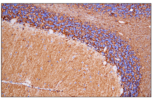 Immunohistochemical analysis of paraffin-embedded human cerebellum using AQP4 (D1F8E) XP<sup>®</sup> Rabbit mAb.