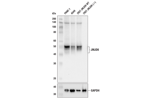 Western blot analysis of extracts from PANC-1, A549, and 293T (JMJD6 WT and KO) cell lines using JMJD6 (D3O3N) Rabbit mAb (upper) and GAPDH (D16H11) XP<sup>®</sup> Rabbit mAb #5174 (lower).