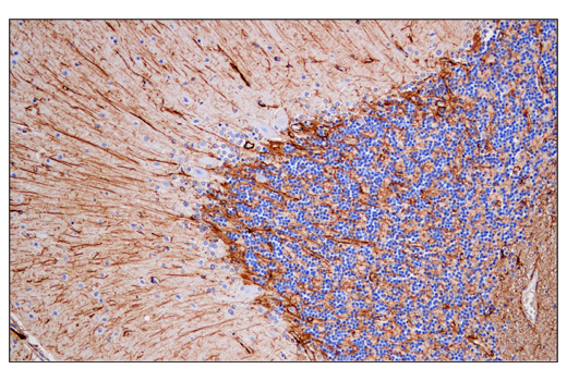 Immunohistochemical analysis of paraffin-embedded human cerebellum using GFAP (E4L7M) XP<sup>®</sup> Rabbit mAb.
