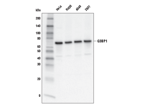 Western blot analysis of extracts from various cell lines using G3BP1 Antibody.