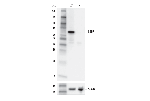 Western blot analysis of extracts from 293T cells, either wild type (+/+) or G3BP1 knockout (-/-), using G3BP1 Antibody (upper) and β-Actin (D6A8) Rabbit mAb #8457 (lower).