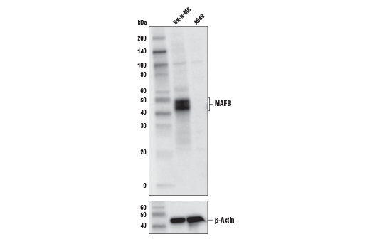 Western blot analysis of SK-N-MC and A549 cell extracts using MAFB Antibody (upper) and β-Actin (D6A8) Rabbit mAb #8457 (lower).