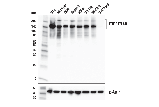 Western blot analysis of extracts from various cell lines using PTPRF/LAR (E6W4X) Rabbit mAb (upper) or β-Actin (D6A8) Rabbit mAb #8457 (lower).