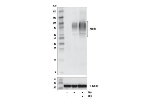 Monoclonal Antibody Western Blotting Scavenger Receptor Activity