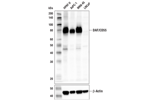 Western blot analysis of extracts from various cell lines using DAF/CD55 (E7G2U) XP<sup>®</sup> Rabbit mAb (upper) and β-Actin (D6A8) Rabbit mAb #8457 (lower). As expected, DAF/CD55 protein expression is not detected in LNCaP cells.