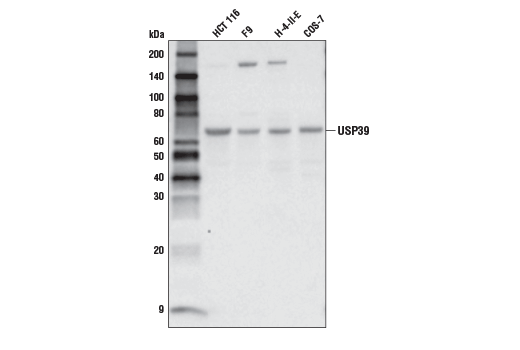 Polyclonal Antibody - USP39 Antibody - Western Blotting, UniProt ID Q53GS9, Entrez ID 10713 #19758 - Chromatin Regulation / Nuclear Function