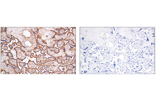 Immunohistochemistry Image 8: CD141/Thrombomodulin (E7Y9P) XP® Rabbit mAb