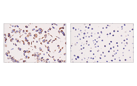Immunohistochemical analysis of paraffin-embedded MCF7 cell pellet (left, positive) or SR cell pellet (right, negative) using IDH2 (KrMab-3) Mouse mAb.