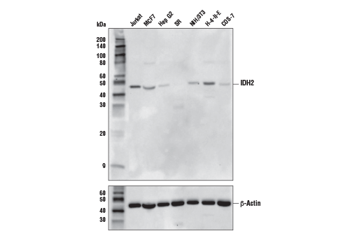 Western blot analysis of extracts from various cell lines using IDH2 (KrMab-3) Mouse mAb (upper) and β-Actin (D6A8) Rabbit mAb #8457 (lower). The relative levels of IDH2 protein expression detected among cell lines are consistent with expression data reported in public bioinformatic databases.
