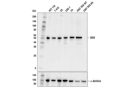 Western blot analysis of extracts from various cell lines using DEK (E4S5J) Rabbit mAb (upper) and α-Actinin (D6F6) XP<sup>®</sup> Rabbit mAb #6487 (lower). As expected, DEK is not expressed when knocked out in 293T cells (293T DEK KO).