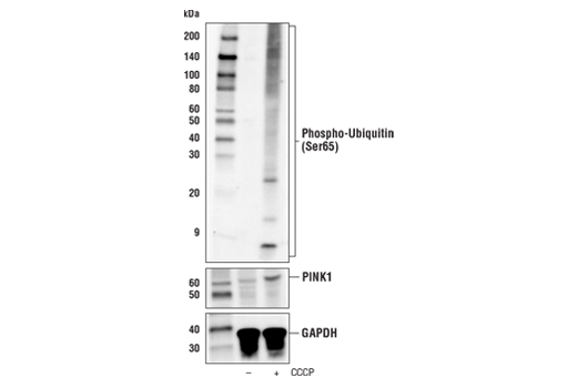 Western blot analysis of extracts from PC-3 cells, untreated (-) or treated with carbonyl cyanide 3-chlorophenylhydrazone (CCCP; 30 μM, 6 hr; +), using Phospho-Ubiquitin (Ser65) (E2J1T) Rabbit mAb (upper), PINK1 (D8G3) Rabbit mAb #6946 (middle), or GAPDH (D16H11) XP<sup>®</sup> Rabbit mAb #5174 (lower).