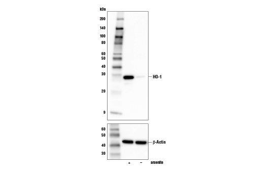 Western blot analysis of extracts from NIH/3T3 cell line, untreated (-) or treated with arsenite (50 μM, 8 hr; +), using HO-1 (E9H3A) Rabbit mAb (Mouse Specific) (upper) or β-Actin (D6A8) Rabbit mAb #8457 (lower).