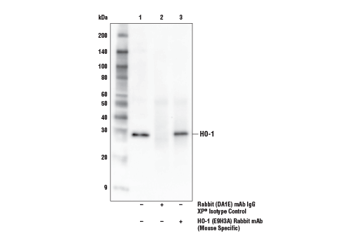 Immunoprecipitation of HO-1 from arsenite-treated (50 μM, 8 hr) NIH/3T3 cell extracts. Lane 1 is 10% input, lane 2 is Rabbit (DA1E) mAb IgG XP<sup>®</sup> Isotype Control #3900, and lane 3 is HO-1 (E9H3A) Rabbit mAb (Mouse Specific). Western blot analysis was performed using HO-1 (E9H3A) Rabbit mAb (Mouse Specific). Mouse Anti-rabbit IgG (Conformation Specific) (L27A9) mAb (HRP Conjugate) #5127 was used for detection.
