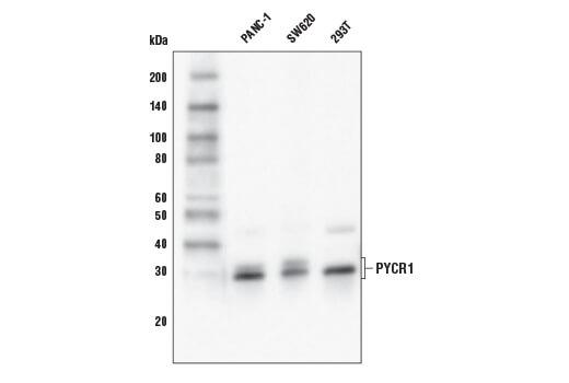 Western blot analysis of PANC-1, SW620, and 293T cells using PYCR1 Antibody.