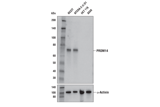Western blot analysis of extracts from various cell lines using PRDM14 (E2J8Q) Rabbit mAb (upper) and -Actinin (D6F6) XP<sup>®</sup> Rabbit mAb #6487 (lower). As expected, HCT 116 and A549 cell lines are negative for PRDM14 expression.