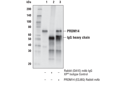 Immunoprecipitation of PRDM14 from NCCIT cell extracts. Lane 1 is 10% input, lane 2 is Rabbit (DA1E) mAb IgG XP<sup>®</sup> Isotype Control #3900, and lane 3 is PRDM14 (E2J8Q) Rabbit mAb. Western blot analysis was performed using PRDM14 (E2J8Q) Rabbit mAb.