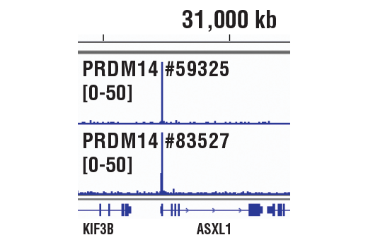 Chromatin immunoprecipitations were performed with cross-linked chromatin from NCCIT cells and either PRDM14 (E2J8Q) Rabbit mAb or PRDM14 (E1D5S) XP<sup>®</sup> Rabbit mAb #83527, using SimpleChIP<sup>®</sup> Plus Enzymatic Chromatin IP Kit (Magnetic Beads) #9005. DNA libraries were prepared using SimpleChIP<sup>®</sup> ChIP-seq DNA Library Prep Kit for Illumina<sup>®</sup> #56795. The figures show binding across ASXL1, a known target gene of PRDM14 (see additional figure containing ChIP-qPCR data). For additional ChIP-seq tracks, please download the product data sheet.