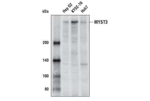 Western blot analysis of extracts from various cell lines using MYST3 Antibody.