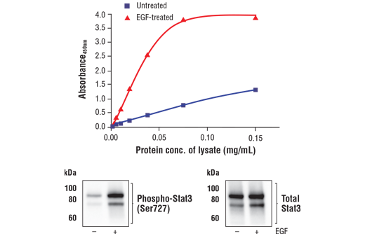 Figure 1. Treatment of A-431 cells with EGF stimulates phosphorylation of Stat3 at Ser727 but does not effect the level of total Stat3. The relationship between lysate protein concentration from untreated and EGF-treated A-431 cells and the absorbance at 450 nm using the FastScan™ Phospho-Stat3 (Ser727) ELISA Kit #16242 is shown in the upper figure. The corresponding western blots using phospho-Stat3 (Ser727) antibody (left panel) and Stat3 antibody (right panel) are shown in the lower figure. After serum starvation, A-431 cells were either left untreated or treated with 100 ng/mL EGF for 5 minutes at 37°C, then lysed.