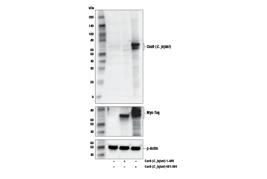 Polyclonal Antibody - Cas9 (C. jejuni) Antibody - Western Blotting, UniProt ID Q0P897, Entrez ID 905809 #50561, Cas9 Iso3
